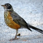img_0069-juvie-robin