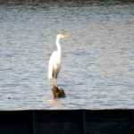 img_0028-great-egret