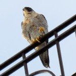 img_0043-falcon-power