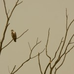 2-young-bald-eagle-at-montezuma-7-17-17
