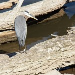 4-great-blue-heron-8-6-17