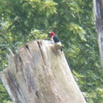 5-red-headed-woodpecker-7-17-17