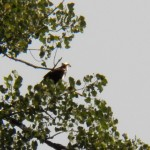 6-osprey-in-tree-ibay-8-20-17
