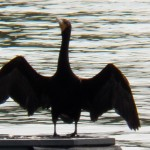 7-cormorant-at-ibay-8-20-17