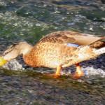 img_0020-duck