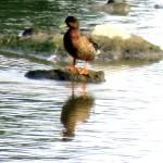 img_0034-big-duck