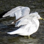 img_0042-ring-billed-gull