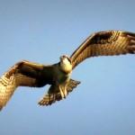 img_0087-osprey