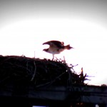 img_0140-osprey-at-mudlock