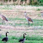 img_0142-sandhill-cranes