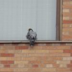 1-dss-falcon-11-26-17