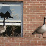 10-geese-at-bs-1-27-17