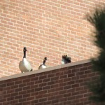 11-geese-at-bs-1-27-17