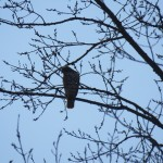 12-hawk-in-tree-at-bs-1-27-17