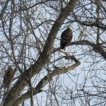 5-two-bald-eagles-in-trees-on-ibay-1-20-18