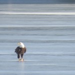 7-be-on-ibay-ice-with-fish-1-27-17