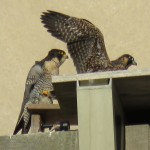 10-fledge-watch-beauty-and-eyas-6-14-18