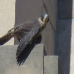 10-fledge-watch-mike-6-15-18