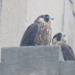 10-fledge-watch-ml-6-13-18