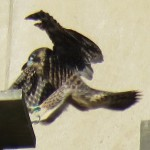 11-fledge-watch-mike-6-14-18