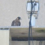 11-fledge-watch-mike-sundara-letchworth-6-11-18