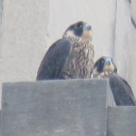 11-fledge-watch-ml-6-13-18