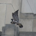 12-fledge-watch-letchworth-6-13-18