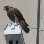 14-fledge-watch-mike-on-main-cam-6-16-18