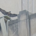 16-fledge-watch-sundara-wings-6-13-18