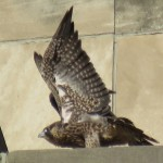 2-fledge-watch-letchworth-6-15-18