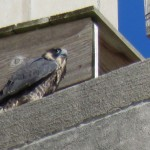 20-fledge-watch-sundara-6-15-18