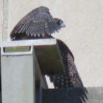 23-fledge-watch-sundara-6-15-18