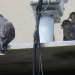 24-fledge-watch-all-3-6-16-18