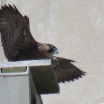 24-fledge-watch-sundara-6-15-18