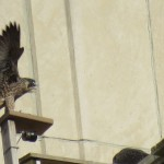 3-fledge-watch-mike-6-16-18
