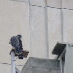 3-fledge-watch-mike-cam-4-6-13-18
