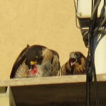 5-fledge-watch-b-eyas-6-14-18