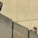 5-fledge-watch-ml-6-16-18