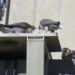 7-fledge-watch-bdc-with-food-6-12-18