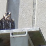 8-fledge-watch-sundara-letchworth-mike-6-10-181