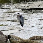 5-great-blue-heron-8-5-18-21