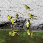 6-gold-finches-8-19-18-2