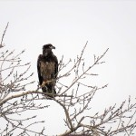 9-juvie-bald-eagle-2-16-20-3