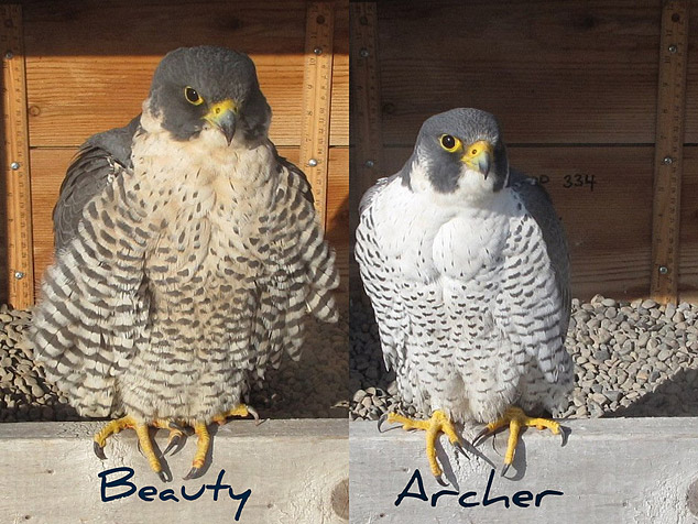 the increasing population of peregrine falcons in the wild Peregrine falcons in the great plains  peregrines to the wild [1] since then, more than 6,000 falcons have been  population increasing from 20 to.
