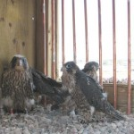 july3peregrinechicks4img_4358.jpg