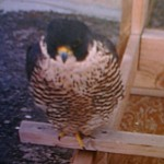 Archer Perched At Times Square Nest Box