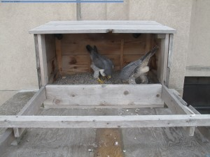 A & B bowing in TS nest box