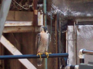 Mystery Falcon at Kodak EBP. Photo by Jim Cutter