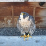 Beauty - Peregrine Falcon Nest on the Times Square Bldg Downtown Rochester