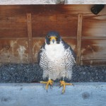 Dot.ca - Peregrine Falcon Nest on the Times Square Bldg Downtown Rochester
